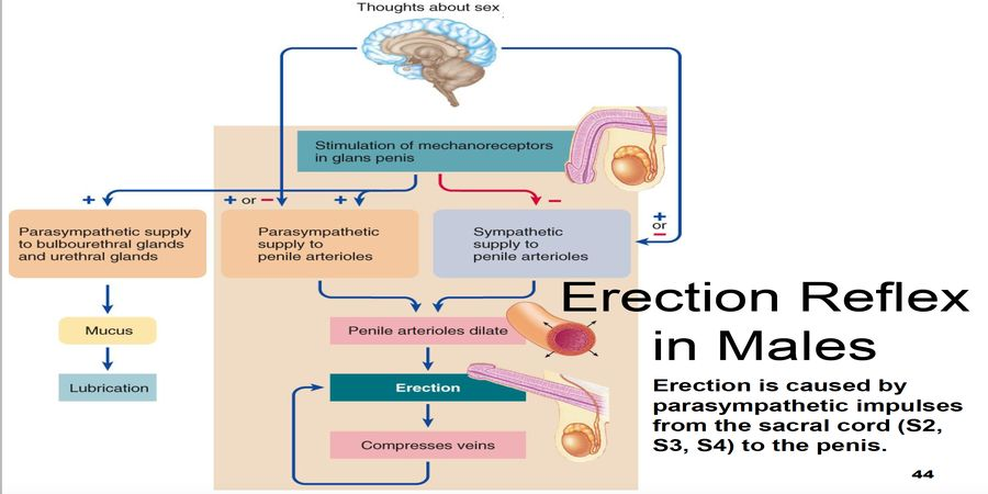 image explains how erection works